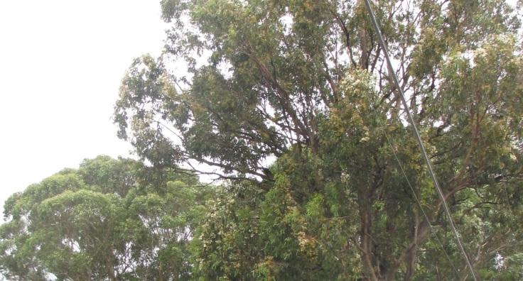 Chirping trees, Wilson St.