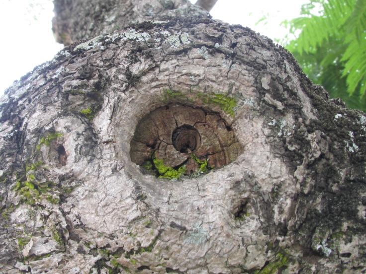 Jacaranda eye, Marco Ave.JPG